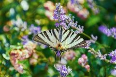 swallowtail för fjärilsmachaonpapilio royaltyfri fotografi