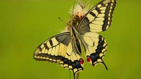 swallowtail för fjärilsmachaonpapilio arkivfilmer