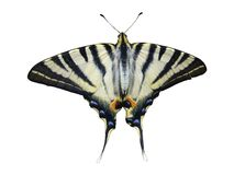 swallowtail för fjärilsmachaorpapilio Arkivbild