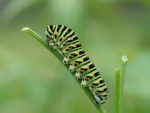 Swallowtail för gammal värld caterpillar Arkivbilder