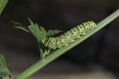 Swallowtail för gammal värld fjäril Caterpillar som äter sellerisidor fotografering för bildbyråer