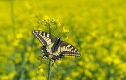 Swallowtail för gammal värld (Papilio machaon) fjäril i rapsfröfält arkivbild