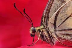 Swallowtail för gammal värld (Papilio machaon) på den röda blomman arkivfoton