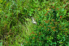 Swallowtail fjäril i Altai berg royaltyfri bild