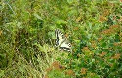 Swallowtail fjäril i Altai berg royaltyfri fotografi