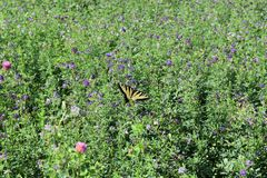 Swallowtail fjäril i en sommaräng arkivbilder