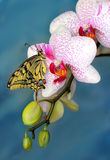 Swallowtail fjäril och blommaorkidé Arkivfoto