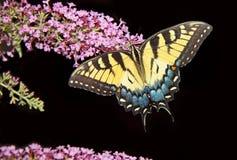 Swallowtail fjäril på Black fotografering för bildbyråer