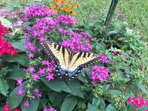 Swallowtail fjäril på blommor Royaltyfria Bilder