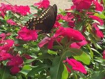 Swallowtail fjäril på blommor för varma rosa färger Royaltyfri Bild