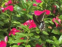 Swallowtail fjäril på blommor för varma rosa färger Arkivfoto