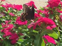 Swallowtail fjäril på blommor för varma rosa färger arkivfoton