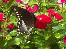 Swallowtail fjäril på blommor för varma rosa färger Royaltyfri Foto