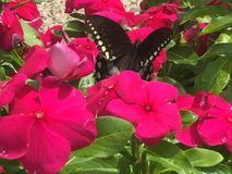 Swallowtail fjäril på blommor för varma rosa färger Arkivbild