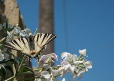 Swallowtail fjäril på blomningbusken royaltyfri fotografi