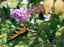 Swallowtail fjäril på den purpurfärgade fjärilsbusken arkivfoto