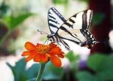 Swallowtail fjäril på en ensam blomma fotografering för bildbyråer