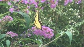 Swallowtail fjäril på fjärilsbusken Fotografering för Bildbyråer