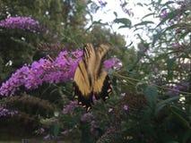 Swallowtail fjäril på fjärilsbusken Royaltyfria Foton