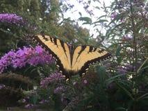 Swallowtail fjäril på fjärilsbusken Arkivbilder