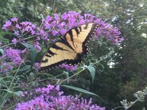 Swallowtail fjäril på fjärilsbusken Arkivfoto