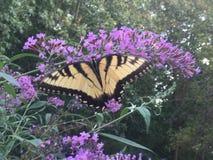 Swallowtail fjäril på fjärilsbusken Royaltyfri Fotografi
