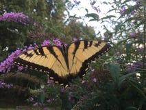 Swallowtail fjäril på fjärilsbusken Arkivfoton