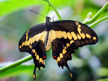 Swallowtail fjäril på grön bakgrund Arkivbilder