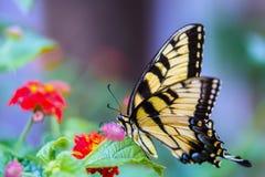 Swallowtail fjäril på lantanablommor Arkivfoton