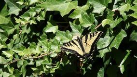 Swallowtail fjäril på murgröna