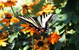 Swallowtail fjäril på trädgårds- blommor royaltyfria bilder