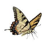 Swallowtail fjäril - Papilio glaucus Royaltyfria Foton