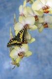 Swallowtail fjäril (papiliomachaon) på en blommaorkidé royaltyfria foton