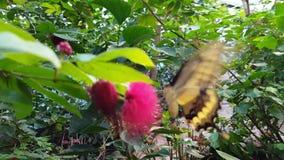 Swallowtail fjäril som dricker nektar stock video