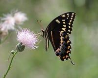 Swallowtail fjäril som pollinerar tistelblomman Royaltyfri Fotografi