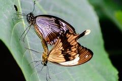 Swallowtail fjärilar i natur Arkivfoton