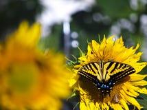 Swallowtail fjäril med solrosen Arkivfoton