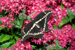 Swallowtail géant Images stock