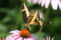 Swallowtail géant 2 Images libres de droits
