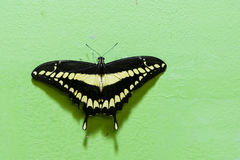 Swallowtail géant Photo libre de droits