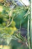 Swallowtail gąsienica na gałąź zielony koper Zielony caterpi obrazy stock