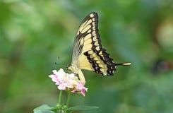 Swallowtail g?ant photos libres de droits