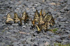 Swallowtail Gathering Royalty Free Stock Image
