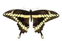 Swallowtail gigante Fotografia Stock