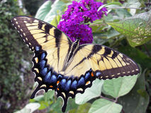 Swallowtail gigante Immagini Stock