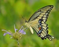 Swallowtail gigante Imagen de archivo libre de regalías