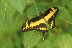 Swallowtail gigante Immagini Stock Libere da Diritti