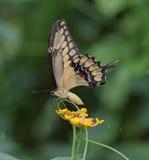 Swallowtail gigante fotografia de stock royalty free