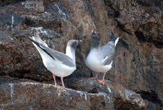Swallowtail Gulls o ritual, Ilhas Galápagos Fotos de Stock Royalty Free