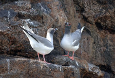 Swallowtail Gulls ritual, Galapagos Islands Royalty Free Stock Photos